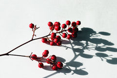 Berries and shadows. Spray of red berries with strong shadows on white background Royalty Free Stock Photography