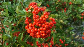 Berries in the shrubbery Stock Photo