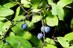 Berries of sloe Stock Photo