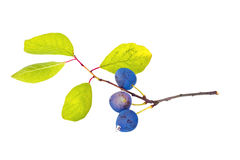 Berries of sloe Royalty Free Stock Photo
