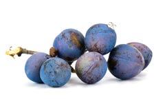 Berries of sloe Stock Photography
