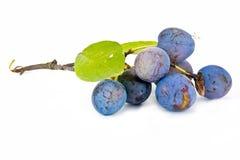 Berries of sloe Stock Photos