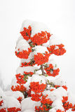 Berries and snow Royalty Free Stock Image