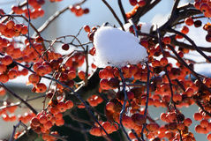 Berries with snow Stock Images