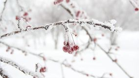 Berries in the snow stock footage