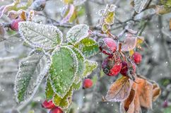 Berries in snow.Winter magic stock illustration