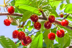 Berries of a sweet cherry on a branch. Bunch of ripe, red fruit cherries on a branch in a sunny summer day closeup Stock Images