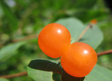 Berries Tatarian honeysuckle Stock Images