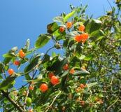 Berries Tatarian honeysuckle (Lonicera tatarica) Royalty Free Stock Images