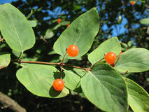 Berries Tatarian honeysuckle (Lonicera tatarica), Stock Photo