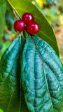 Berries and their leaf. Saw these while playing golf royalty free stock image