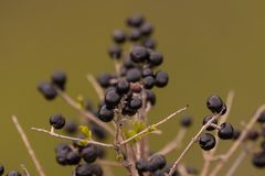 Berries on the top of rocks royalty free stock images