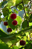 Berries. In tree bathing in sunlight Stock Photography