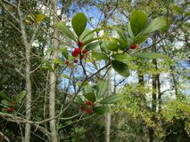 Berries on Tree in Forest. Tree Berries in Forest Northern Florida Stock Photography