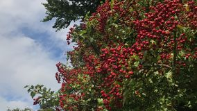Berries on Trees royalty free stock images