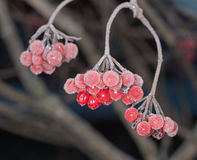 Berries under hoarfrost. Branches of a arrowwood with berries under hoarfrost Royalty Free Stock Photo