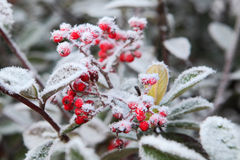 Berries under rime frost. Piedmont, Italy. Stock Photography