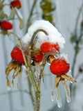 Berries under snow. Wild rose berries covered with snow and icicles stock photos