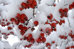 Berries under snow Stock Image