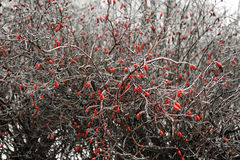 Berries under snow Stock Photography