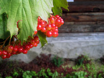 Berries of viburnum. On a background of the wall with space for text stock photography