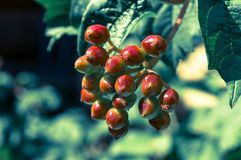 Berries of viburnum. In the sunny farm Stock Photography