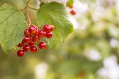 Berries of a viburnum on a branch stock image