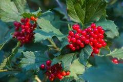 Berries of Viburnum opulus plant Royalty Free Stock Photo