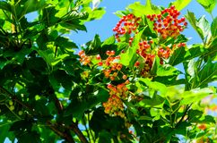 Berries of the viburnum plant Stock Photography