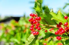Berries of the viburnum plant Stock Photo