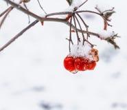 Berries of Viburnum. The berries of Viburnum in the snow Stock Photo