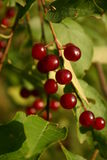 Berries on vine Stock Image