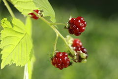 Berries of wild brambles on a branch Stock Photography
