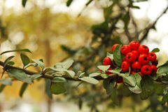 Autumn tree with berries Royalty Free Stock Photo