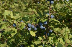 Berries of wild plum - a sloe. Wild fruit in the nature stock images