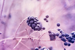 Berries of wild privet in hoarfrost. Pink toned royalty free stock photo
