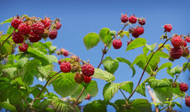 Berries of wild raspberries on the background of blue sky Royalty Free Stock Images