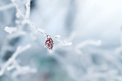 Berries of the wild rose, covered with white crystals of cold frost Royalty Free Stock Photography
