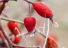 Berries of wild rose with hoarfrost, macro Royalty Free Stock Images