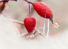 Berries of wild rose with hoarfrost Royalty Free Stock Photo