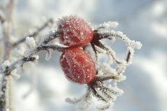 Berries of wild rose the winter garden-stuffs  covered a hoarfrost Royalty Free Stock Photo