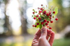 Berries of wild strawberries Stock Image
