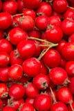 Berries  wild  useful   hawthorn Stock Photo