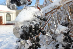 Berries in winter with ice Stock Images