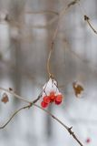 Berries in winter. Red berries on branch in winter Royalty Free Stock Image