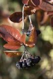 Berries2. Berries in Autumn in Norway Stock Image