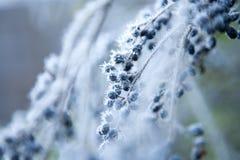 berriess καλυμμένος παγετός Στοκ φωτογραφία με δικαίωμα ελεύθερης χρήσης