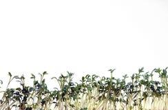 Berro en blanco Foto de archivo libre de regalías
