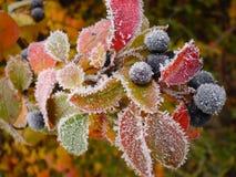 berry Zdjęcie Stock