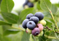 berry. Asian real estate delicious wild blueberry Stock Image